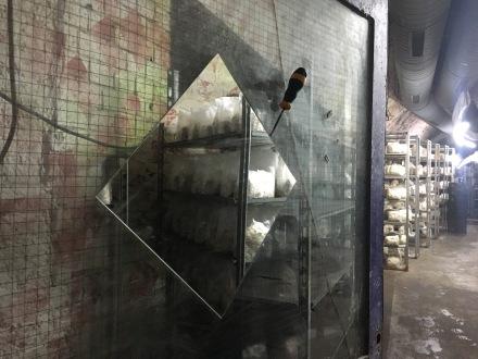 In einem weiteren Keller wachsen Frisee- und Buchenpilze.