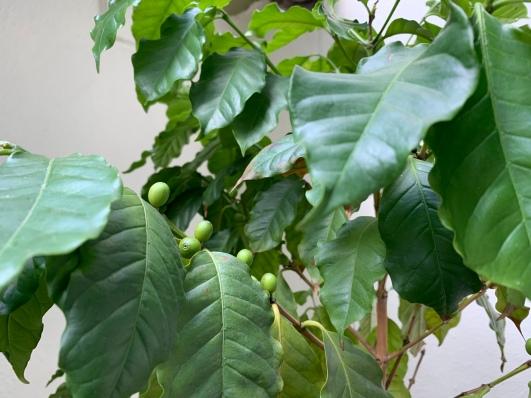 Eine echte Kaffeepflanze darf hinter den Kulissen einer Kaffeerösterei natürlich nicht fehlen. Im Privatbereich von Annette Laier durfte ich mir eine Kaffeebohne abpflücken und mit nach Hause nehmen!