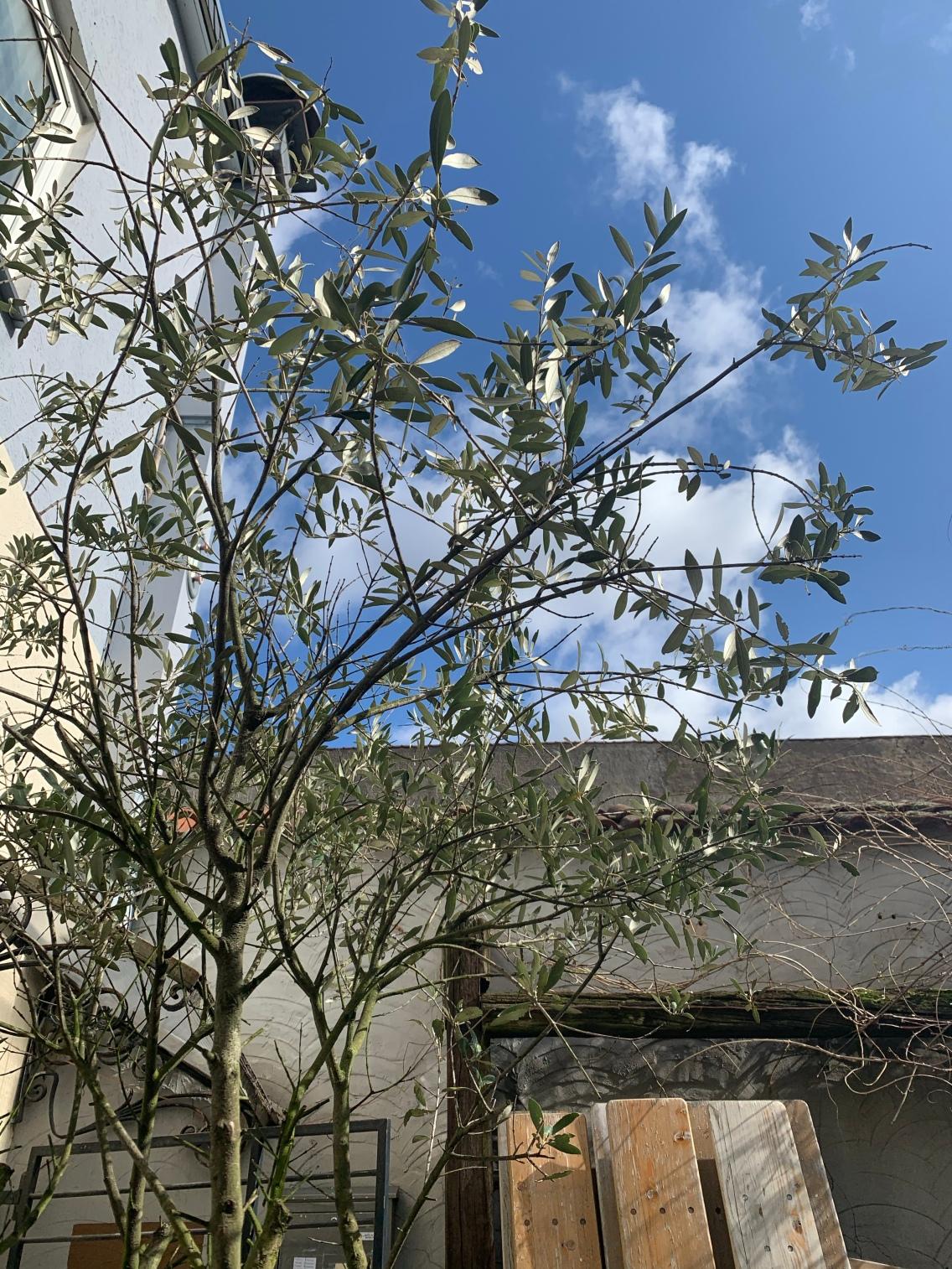 Im Innenhof empfängt dieser hübsche Olivenbaum die Gäste des Trattodino's!